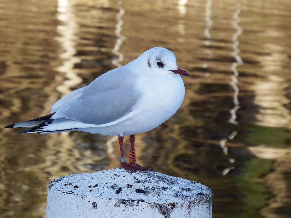 Black-headed Gull - Orange 2AAA