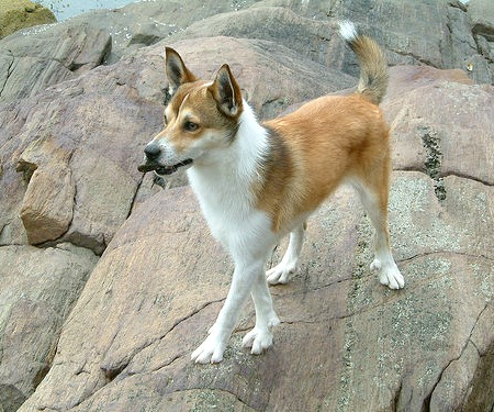 Weirdest Dog Breeds In The World Norwegian Lundehund