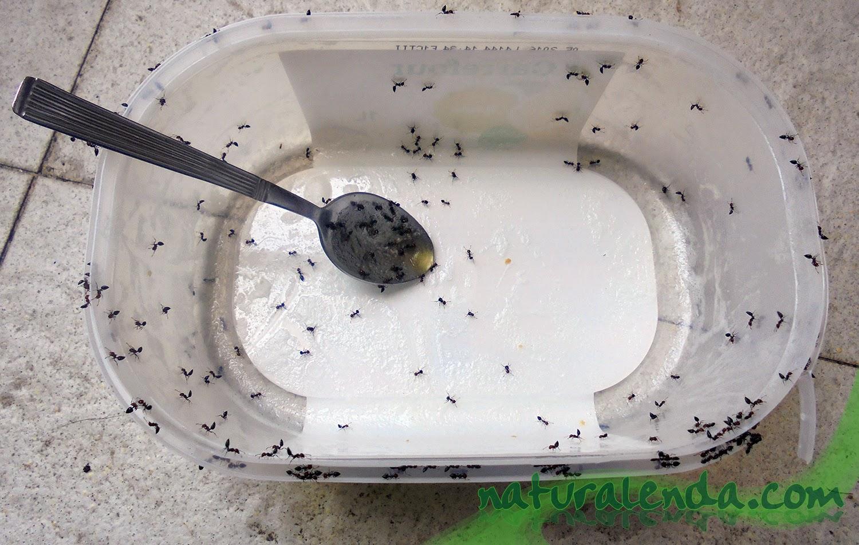hormigas en helado