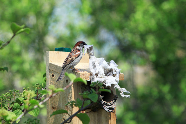 Sparrow_nest_with_tissue