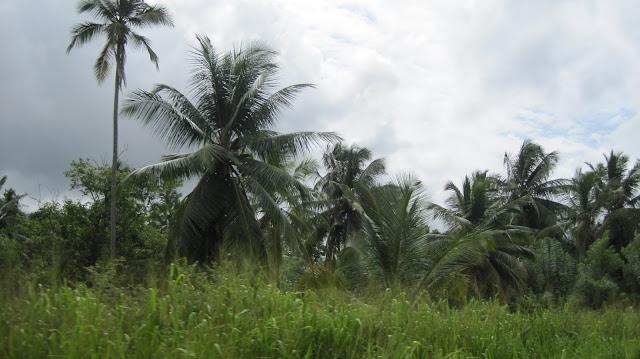 Vegetación en la carretera del aeropuerto a Negombo (Sri Lanka)