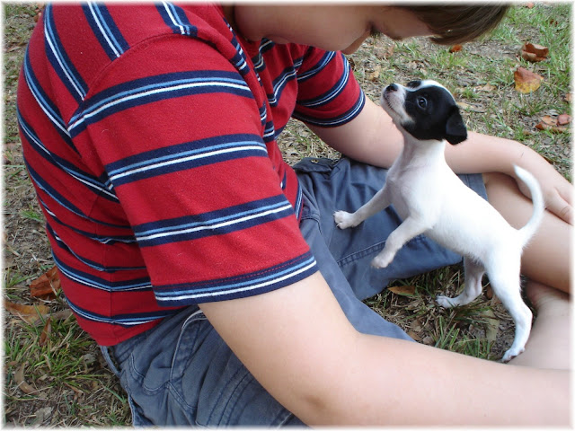 Displaying 19> Images For - Min Pin Jack Russell Mix Puppies...