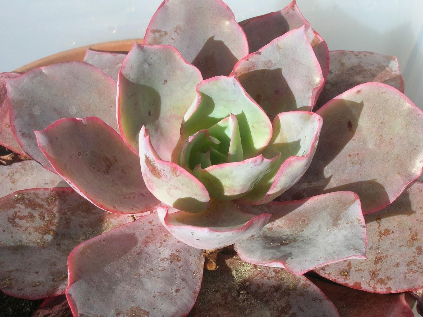 Plantes grasses et succulentes 34 collectionneur - Plantes grasses succulentes ...