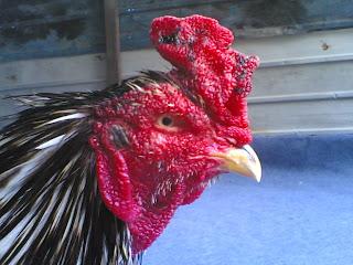 ayam aduan dan ayam hias aceh mengobati paruh ayam yang terkelupas