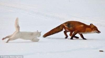 Kucing Pemberani Usir Rubah Besar