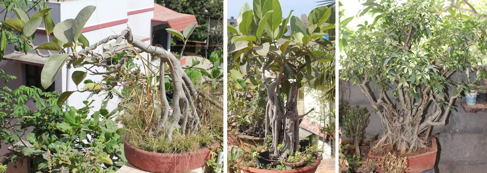 how to grow bonsai at home in india