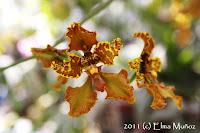 Cyrtochilum gargantua