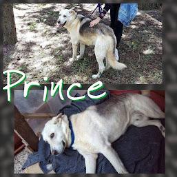 Prince, il gigante buono, in cerca d adozione
