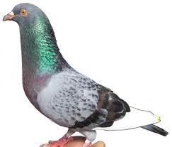 Hal-hal yang harus diperhatikan saat akan memelihara merawat burung merpati
