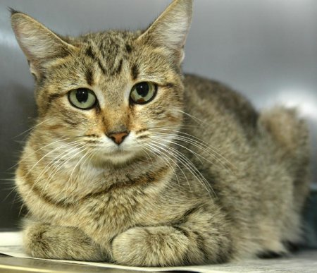 Cat Breeds Short Haired Domestic