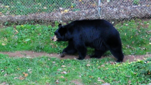 Black Bear Abnormal Stereotypic Pacing