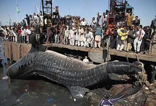 Tiburón ballena de Pakistan
