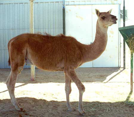 hybrid animal - cama
