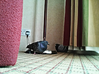 two pigeon