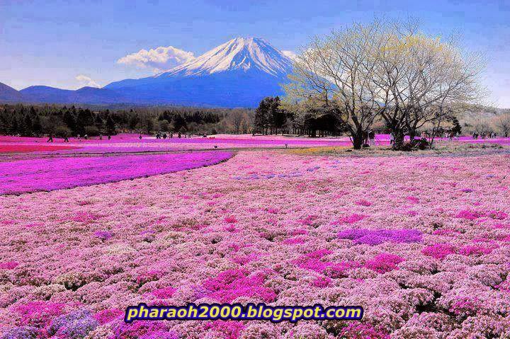 صورة مليون زهرة بحديقة فوجي باليابان