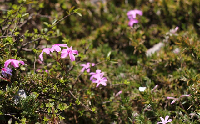 Phlox Subulata Flowers