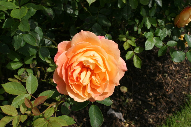 lady of shalott rose - photo #23