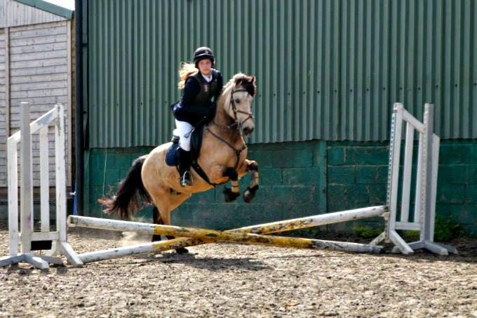 Jumping Irish Connemara Pony