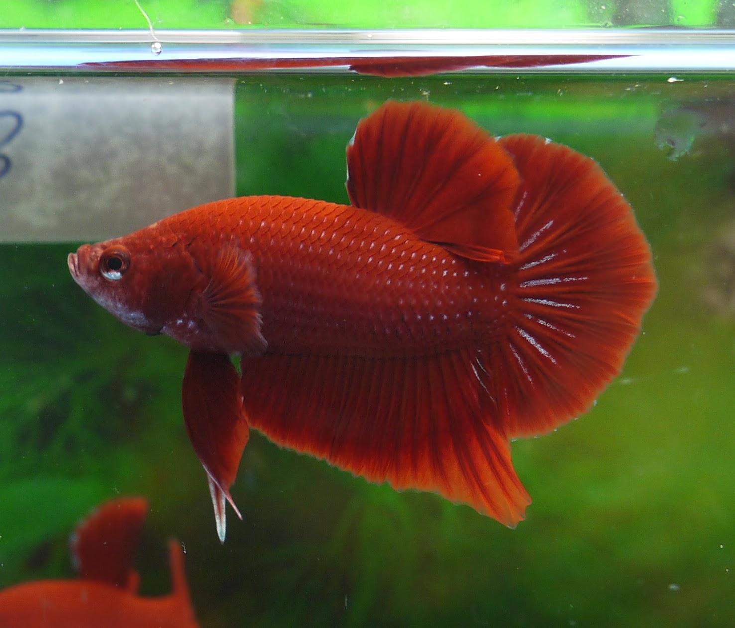 AquaBid.com - Archived Auction # fwbettashmp1388884526 - <<< Super ...