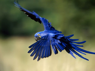 flying Hyacinth Macaws picture
