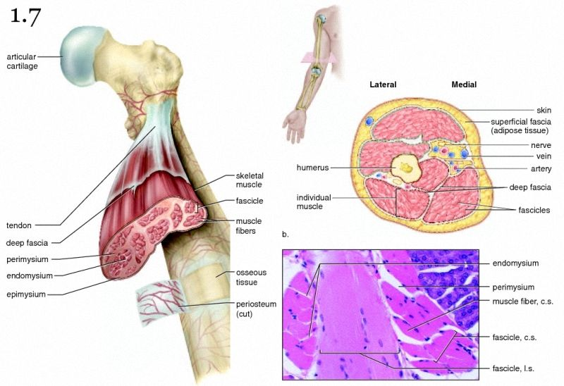 Mini Handbooks Muscle Connective Tissue Coverings
