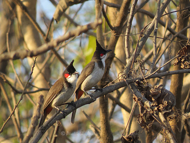 Red Whiskered Bulbuls at Aksa Beach