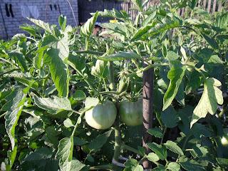 В начале августа верхушки помидоров отрезаю