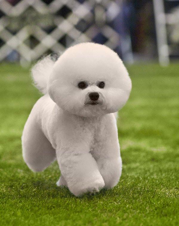 Dog Show Poop Westminster Standard Poodle Bichon Amp Lhasa