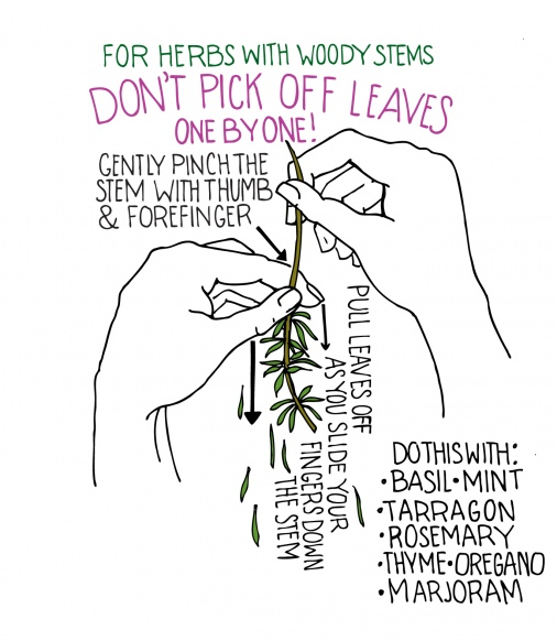 how to harvest fresh herbs