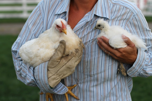 Broiler chick day 44 next to Bantam Silkie chick day 38