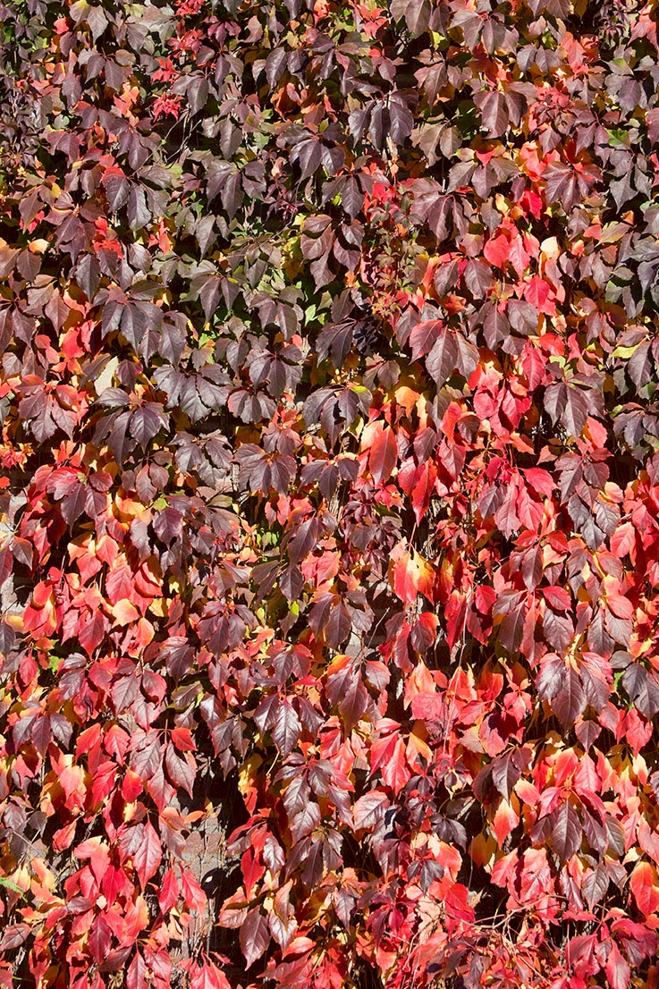 ivy changing colour