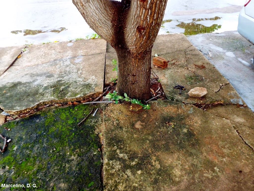 arborizacção-urbana-plantio-inadequado