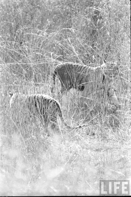 Tiger+Hunting+Photographs+of+India+-+1965+%252829%2529