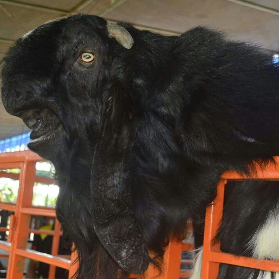 Pelatihan Ternak Kambing Domba