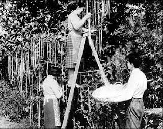 the great spaghetti harvest of 1957
