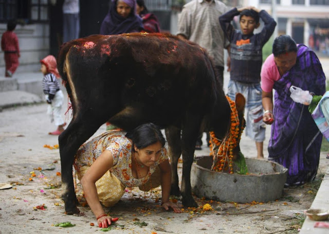 Why do Hindus Worship Cows - Hindu Devotee Crawls under Cow in Kathmandu