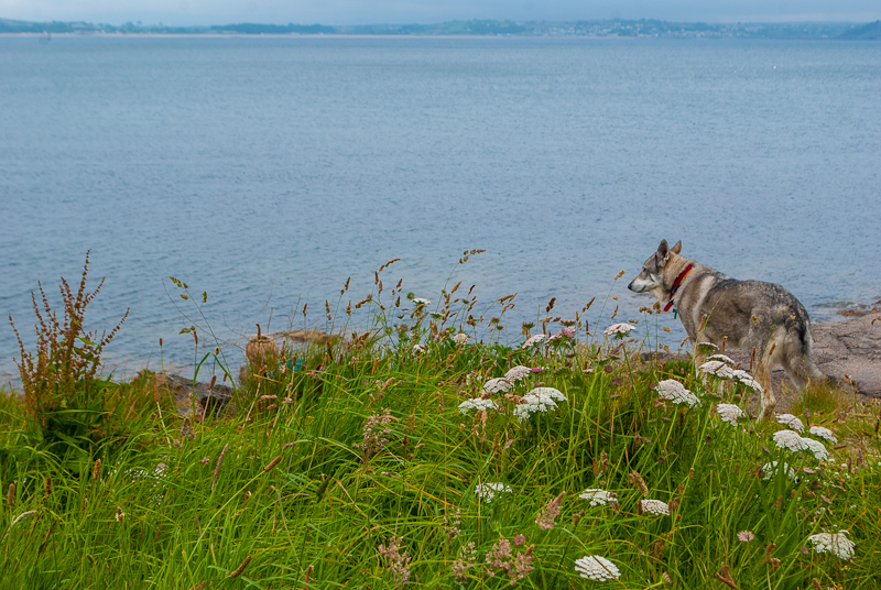 Dog playing near the waters of the coast along the south west coastal path in cornwall, england