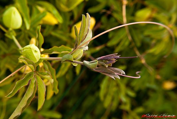 Dans mon jardin les vrilles de la passiflore - Les jardins de passiflore ...