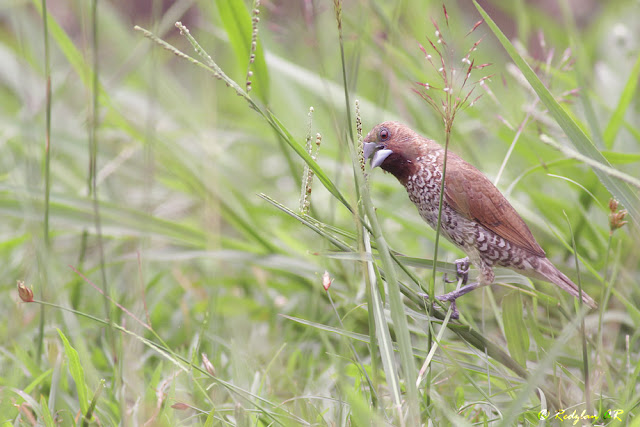 Scally-breasted Munia eating a Guinea Grass