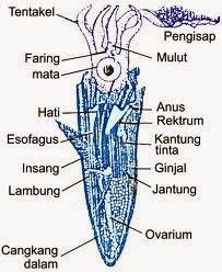 Kelas Cephalopoda - cumi-cumi