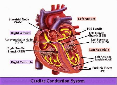 Fungsi dan Susunan Sistem Konduksi Jantung Manusia
