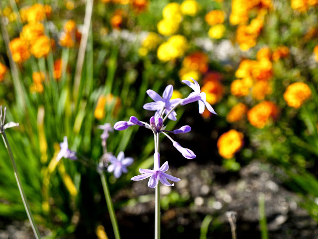 Flor de Ajo cultivo del Restaurante Azurmendi