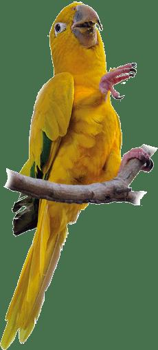 Ararajuba | Golden Parakeet