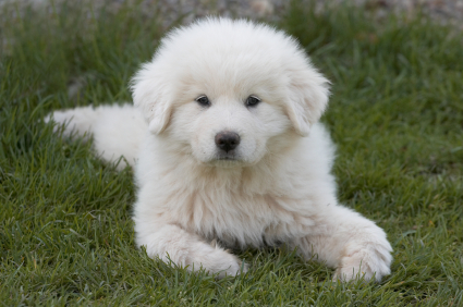 Cute dogs-Great-Pyrenees
