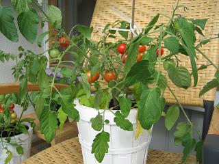 mini tomat