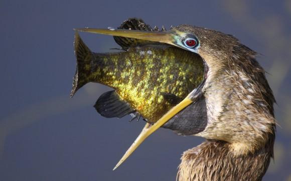 لأجمل اللحظات عالم الحيوان potd-bird-fish_22025