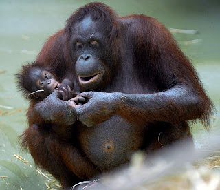 orangutan classification