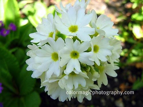 White Drumstick primrose-Primula denticulata macro