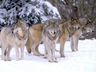 Canis lupus signatus - Lobo ibérico