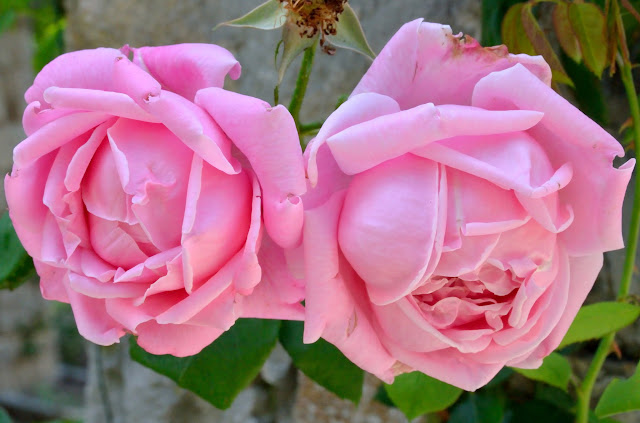 Houten Keuken La France Rose : Rose  La France , Guillot fils (France, 1867), Hybrid Tea